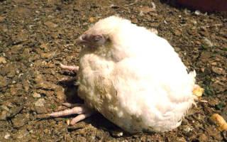 Чем лечить понос у цыплят бройлеров