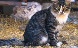 Геморрой у кошек: причины, симптомы, лечение