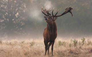 Какой характер имеет животное олень