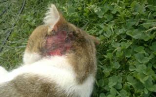 Чем лечить кошку если она чешется и лижется