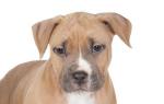 Почему у щенка упали уши
