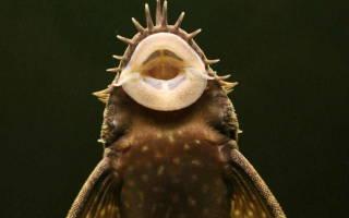 Аквариумные водорослееды: обзор видов с фото