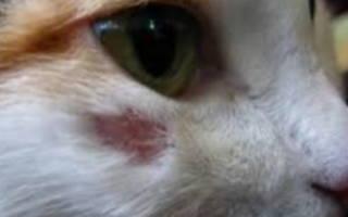 Абсцесс у кошек и котов