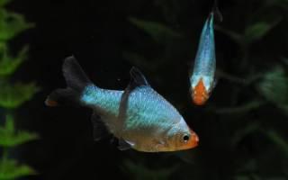 Платиновый барбус или Барбус-альбинос