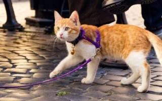 Как правильно надевать шлейку для кошки?