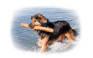 Как научить щенка команде апорт
