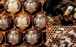 Описание и лечение болезней расплода пчел