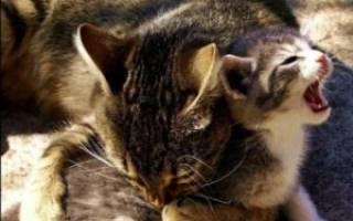 Почему кошка кусает котят своих