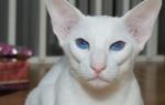 Белые породы кошек: фото и описание