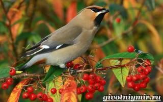 Поведение птицы свиристель в природе