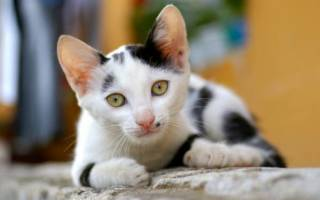 Пузырчатка — аутоиммунное заболевание у кошек