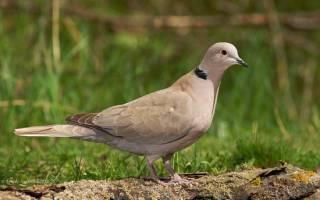 Сколько живут голуби в неволе