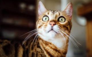 Пироплазмоз у кошек симптомы и лечение болезни