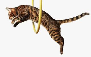 Можно ли кота научить командам