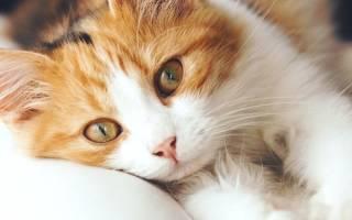 Пневмония воспаление легких у кошек и котов