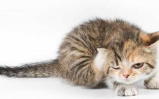 Саркоптоз у кошек как вылечить патологию