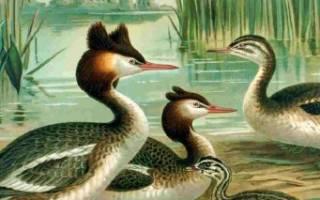 Виды диких уток утка-поганка