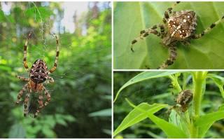 Как выглядит паутина паука крестовика