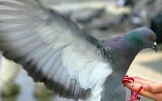 Дикий голубь как приручить дикого голубя