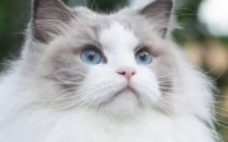 Порода кошек рэгдолл описание и окрасы
