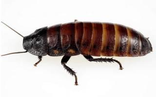 Мадагаскарские шипящие тараканы
