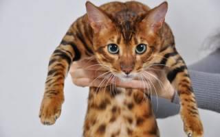 Кошка тойгер — описание породы с фото