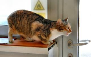 Как проявляется течка у кошек