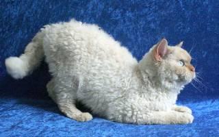Какие бывают породы кудрявых кошек