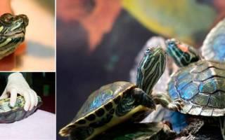 Болезни красноухих черепах: основные симптомы