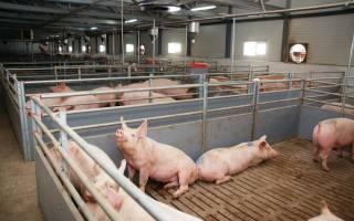 Безвыгульное содержание свиней
