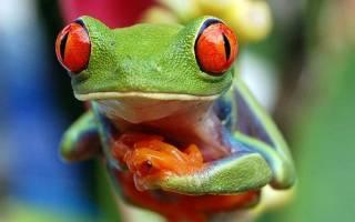 Лягушка красноглазая квакша