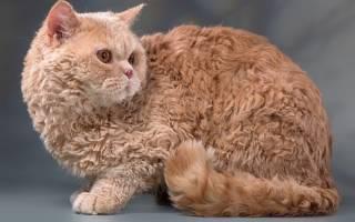 Селкирк рекс кошка в овечьей шкуре