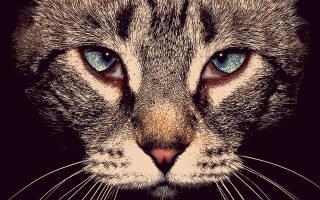 Блефарит у кошек- симптомы и лечение, фото