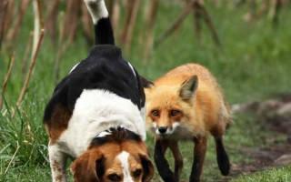Охота на лису с гончими охота на зайца