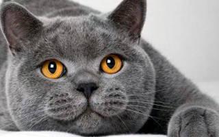 Продолжительность жизни британских котов