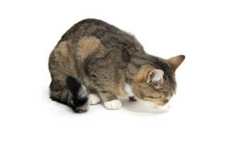 Гематемезис (кровавая рвота) у кошек