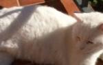 Почему домашнюю кошку трясет будто ей холодно