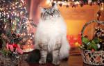 Питомники невских маскарадных кошек