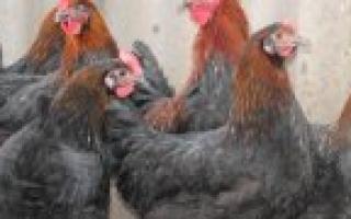 Вес цыплят бройлеров таблица веса нормы