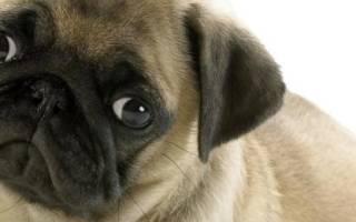 Что делать если у мопса выпал глаз