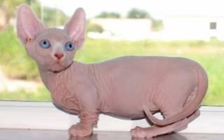 Карликовые кошки: породы и их фото