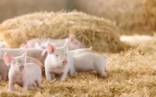 Как называется кастрированная свинья