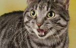 Что делать если у кота чрные точки в шерсти