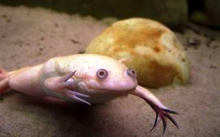 Чем кормить шпорцевых лягушек