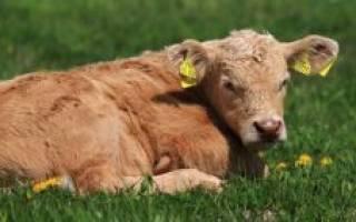 Папилломы у коровы и их лечение