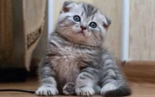 Имена для шотландских котенков мальчиков