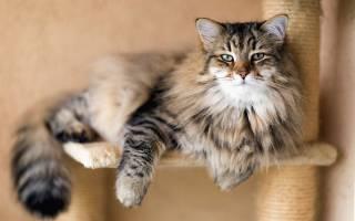 Сибирская тигровая кошка