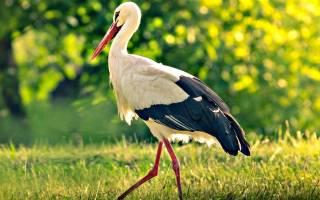 Птица Аист описание, питание, размножение