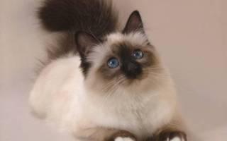 Первая вязка тайский кот