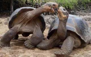 Размножение черепах: потомство в неволе